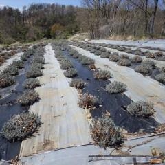 残っていたラベンダー。アングスティフォリア畑の春剪定