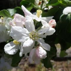 姫リンゴ(アルプス乙女)が咲き始めました