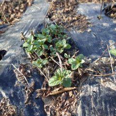 収獲した後から芽を出したペパーミント