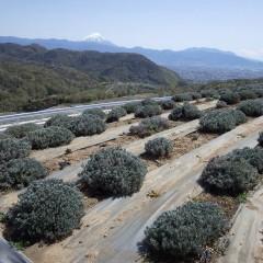 ラバンジン(ラベンダー・スーパー&グロッソ)畑