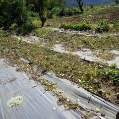 花柄を片付けたエキナセア畑の除草作業