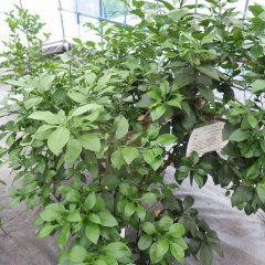 新しい枝が茂ってきたグレープフルーツ