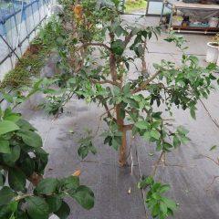 込み入った枝を切って風通しを良くしました