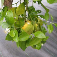 グレープフルーツの花を発見