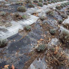 このラベンダー畑は210株を植え替えて完了