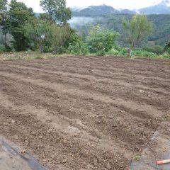 21本の畝を作ることが出来ました