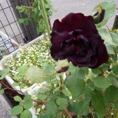 ビロードのような花を咲かせたルイ14世