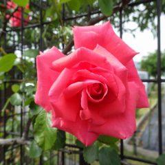 つるバラ「羽衣」も咲き始めました