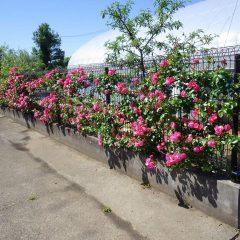 明日から農場研修スタート! つるバラも皆様のお越しをお待ちしています