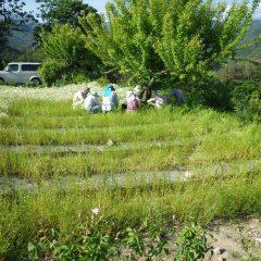 綺麗に摘み取られたカモマイル・ジャーマン畑