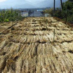 ドクダミ畑