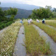 黙々と花摘みに集中しています