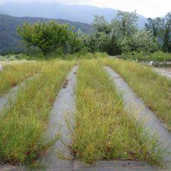摘み取るの終わった畑