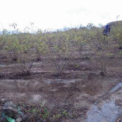 冬の本剪定を前にローズ畑の片付け作業
