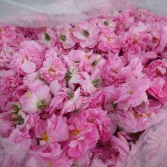 摘み取ったローズからはむせかえるような甘い香りの漂います