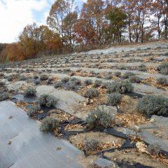 ラベンダー畑に落ち葉が舞い落ち始めました