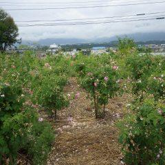 事務局前のローズ畑はほぼ咲き終わりました
