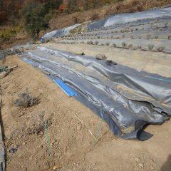 冬の間に整備しているラベンダー畑