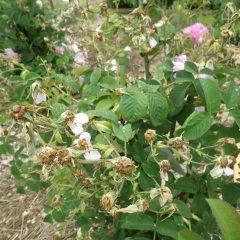 咲き終わった花柄や伸びた枝を切り取って整理します