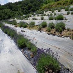 ラベンダー畑では早咲きの「ノウシ(濃紫)」が色付き始めました