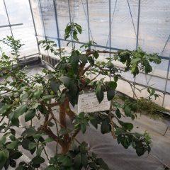 事務局前のビニールハウスに植えてあるグレープフルーツ