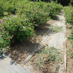 収獲作業が終わった畑では除草作業が行われています