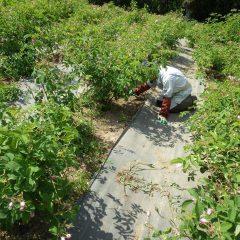 炎天下で休み無く続けられる除草作業
