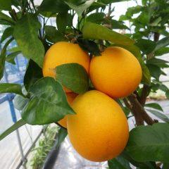 オレンジ・スイート(ブラッドオレンジ)