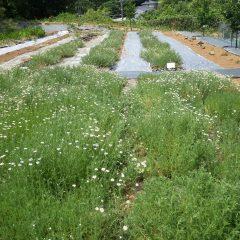 カモマイル・ローマンが咲き出しています