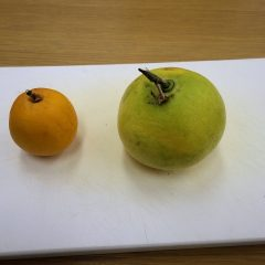 先日収獲したオレンジとグレープフルーツを切ってみました