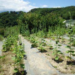 農場ではブラックマロウが咲いています