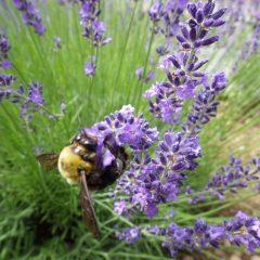 ハチさんも刈り取られては大変と大忙しで蜜を集めています