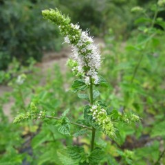 スペアミントは細長~い花穂