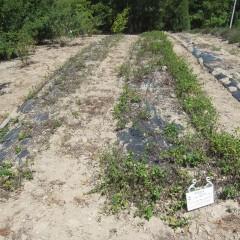 約1ヶ月前に収穫した後のスペアミントです