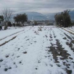 雪が降りカモマイル・ローマンは雪の下でじっと雪解けを待ちます