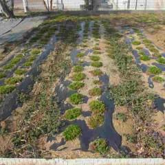 秋に植えた苗も無事冬を越しました