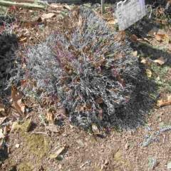 暖かくなって来たので芽が動く前に剪定をします