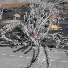 秋に枝を伸ばし過ぎたアングスティフォリア種の若い株