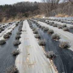 見た目には以前と変わらぬラベンダー畑です