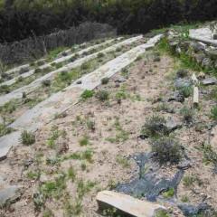 ラベンダー畑も緑が目立って来ました