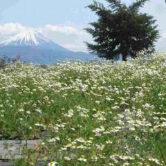 カモマイルの海から富士山を望む