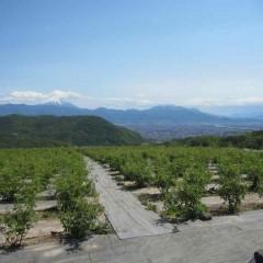 GW明け、ローズ畑の向こうに富士山が見えました