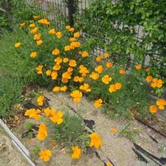 カリフォルニアポピー(花菱草)も満開です
