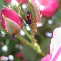 無農薬栽培ではアブラムシが発生するとテントウムシの幼虫が補食してくれます