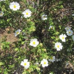 白い花が可憐なロックローズ