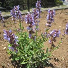 爽やかな青紫色の花を咲かせるセージ
