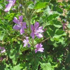 コモンマロウの花は「マロウブルー」のハーブティで有名