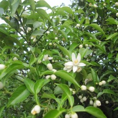 ユズの花が咲き始めました