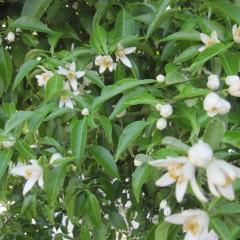 鈴なりの蕾が次から次に咲いています