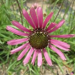 エキナセア・テネシエンシスはアメリカのテネシー州に生育する固有種です